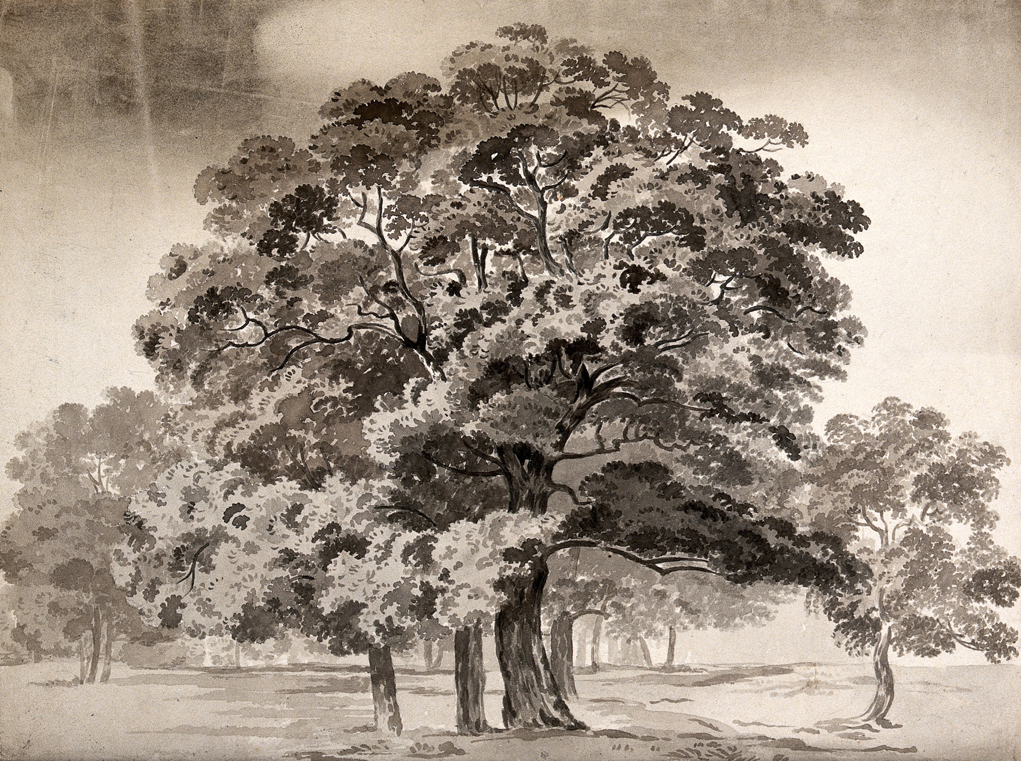 A_group_of_trees._Wash_drawing._Wellcome_V0043530_It Was A Sunlight Fearless Day By Herscho Duds